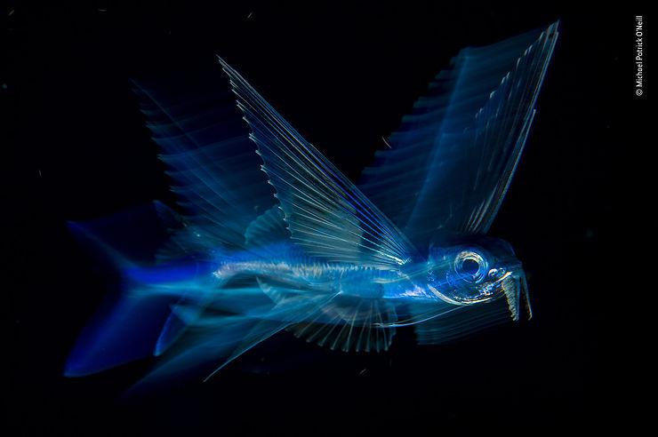 Poisson volant sous la surface, de nuit au large de Palm Beach, Océan Atlantique, Floride