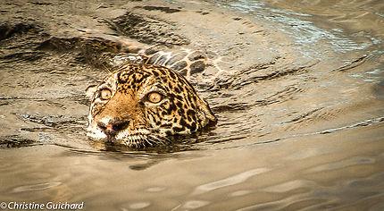 Jaguar dans le lac de Petit Saut Guyane Française