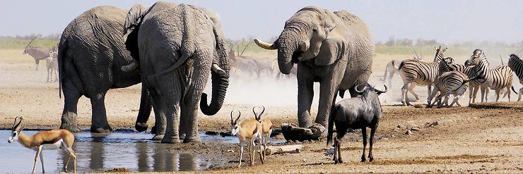 Eléphants à Etosha, Namibie