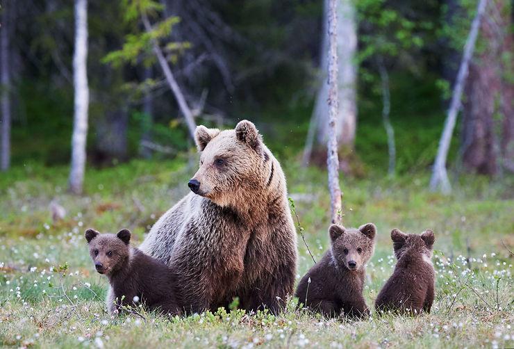 Ours bruns - Ouest du Canada