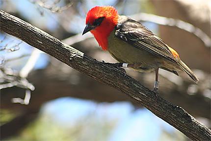 Le Vrai Cardinal De Maurice Oiseaux Animaux Ile Aux Aigrettes Mahebourg Et Le Sud Ile Maurice Rodrigues Routard Com