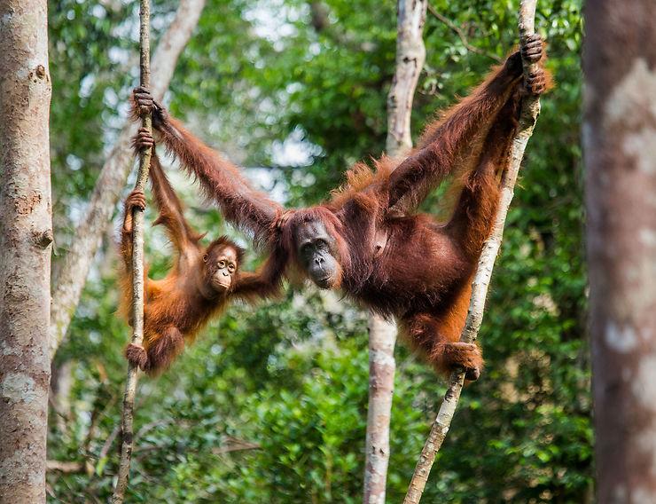 Orang-outans - Bornéo