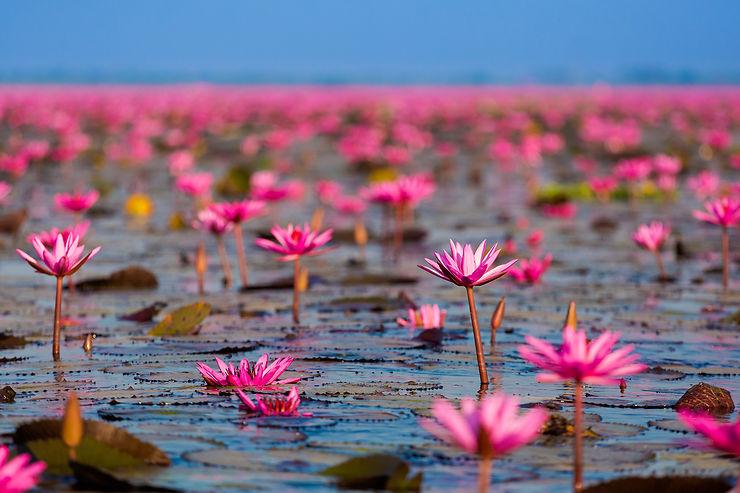 Insolite - Une mer de lotus rouges en Thaïlande
