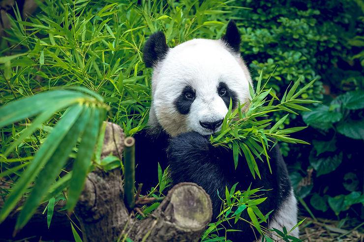 Panda - Chine