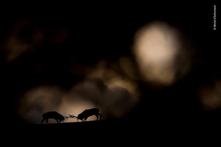 Combat de cerfs élaphes, Forêt des Ardennes, Belgique