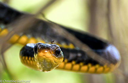 Serpent chasseur Guyane Française