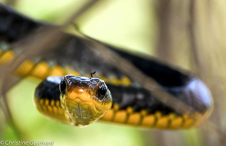 Serpent chasseur et son moustique, par ChrisGuyane