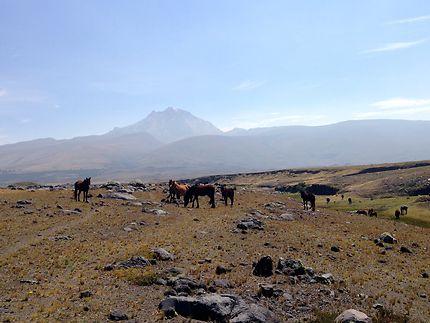 Chevaux sauvages devant le volcan Sincholagua