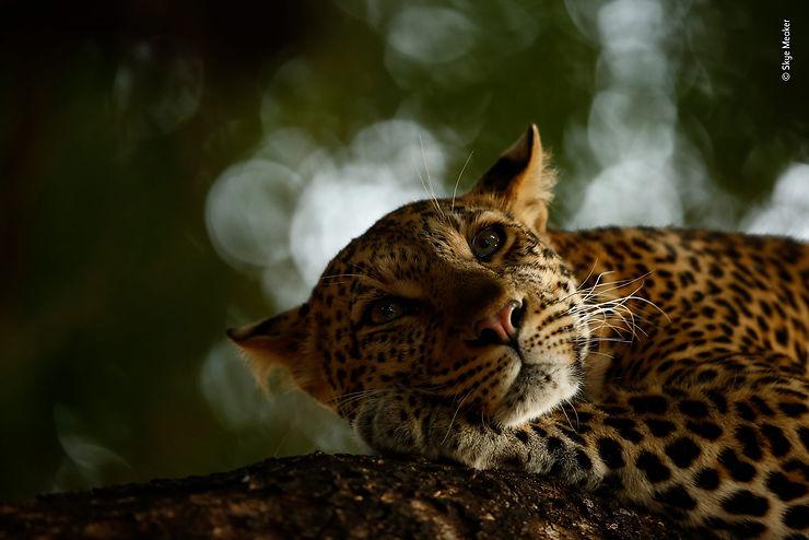 La sieste du léopard, Mashatu Game Reserve, Botswana