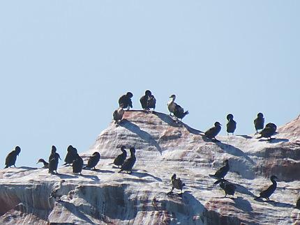 Les cormorans aux Îles