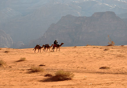 Dromadaires dans le calme du Wadi Rum