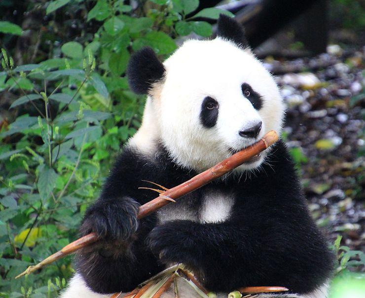 Panda, Chine