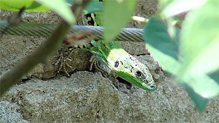 Lézard vert dans le jardin Bardini