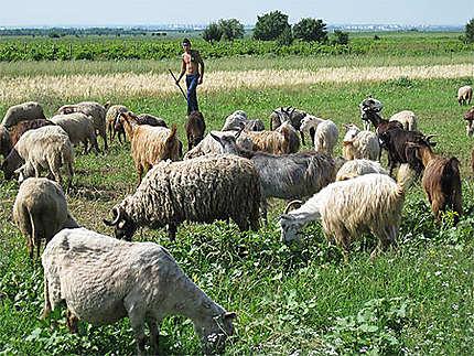 Soresti Blajani moutons