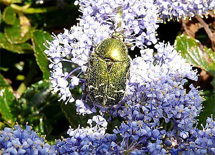 Le scarabée mordoré