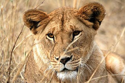 Lionne dans le Nord du Serengeti