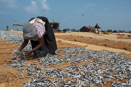 Séchage du poisson à Negombo