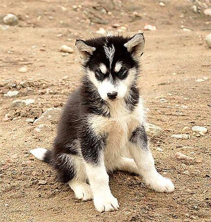 B b chien animaux pond inlet nunavut canada - Image bebe chien ...