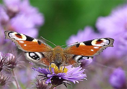 L'aster et le papillon