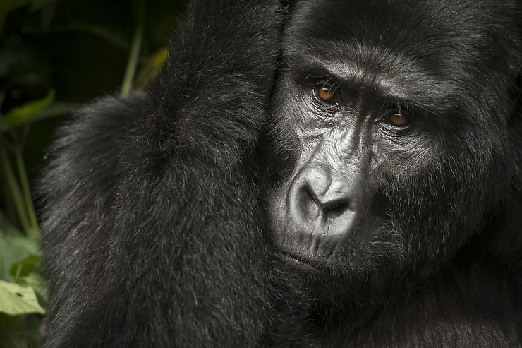 Gorilles - Ouganda