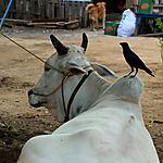 La vache et le corbeau