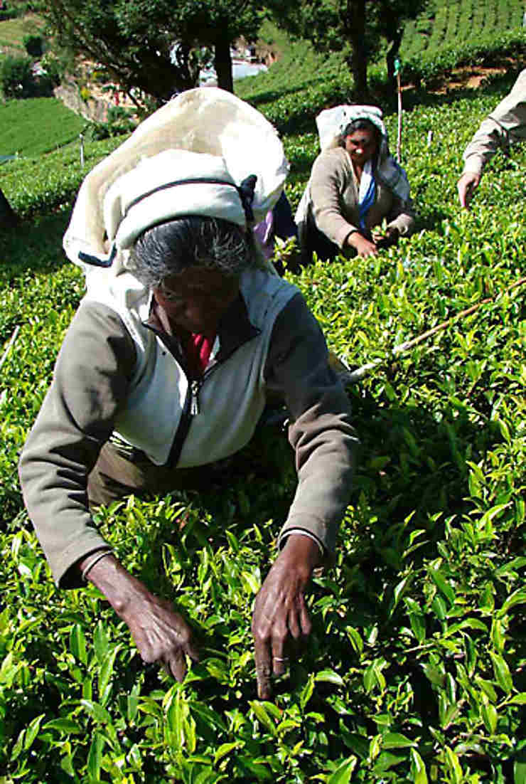 Le thé, or vert du Sri Lanka