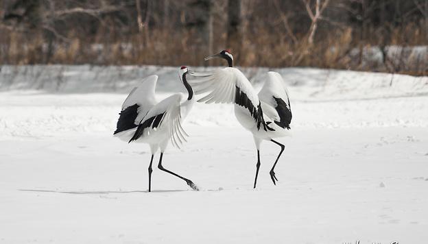 Hokkaido en hiver Neko no Sanpo