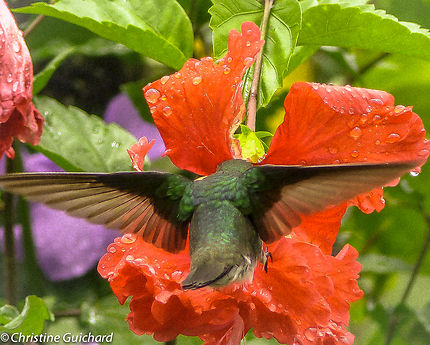 Colibri Butinant Une Fleur Dhibiscus Oiseaux Animaux Matoury