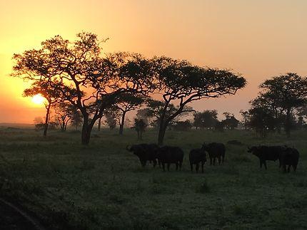 Soleil levant sur un troupeau de buffles