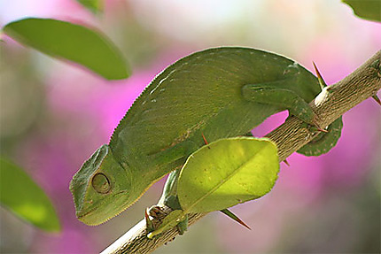 Un caméléon dans les manguiers