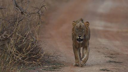 Lion d'Afrique de l'ouest
