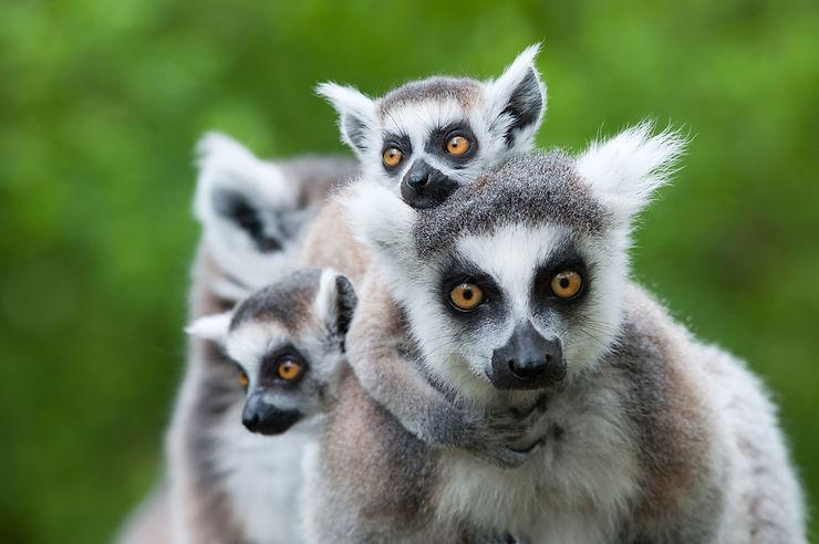 Les lémuriens - Madagascar