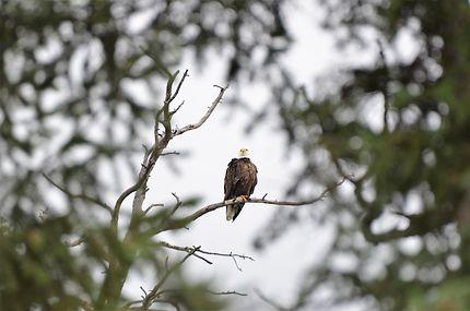 Bald Eagle, Lac Annette