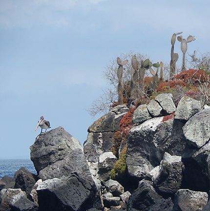 Cactus Santa Fe - Galapagos