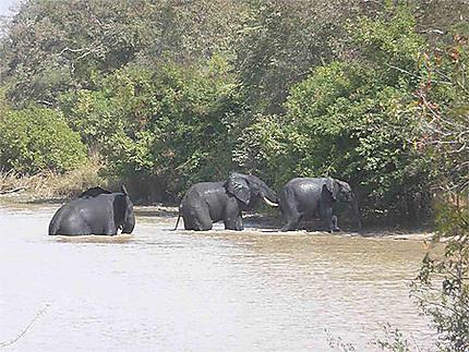 Eléphants au parc du W