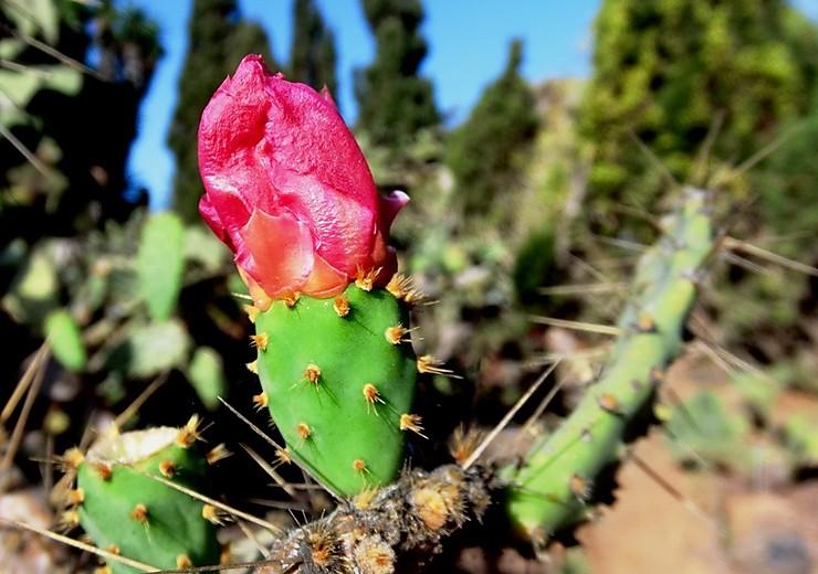 Fleur de cactus, Grande Canarie