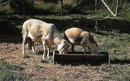Deux moutons à Arçais