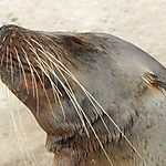 Lion de mer - Santa Fe