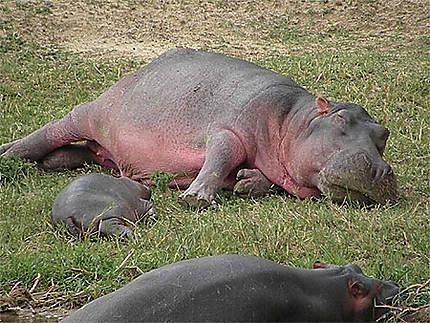 Maman hippo et son bébé