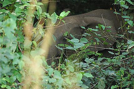 L'éléphant de Brousse