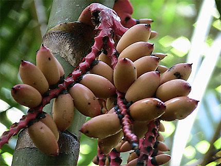 Fruits dans le Taman Negara