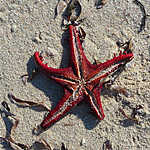 Etoile de me, plage de Carrusca