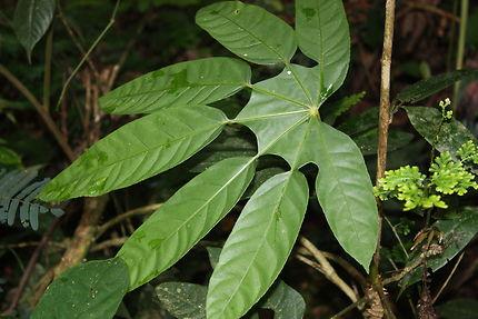 À l'ombre dans la forêt, en Malaisie