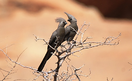 Couple de Touraco Concolore
