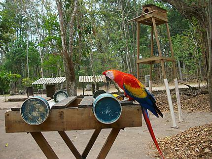 Perroquet à l'entrée du parc de Copan