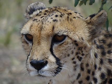 Le royaume du guépard