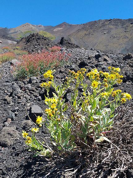 Fleur à flanc de volcan