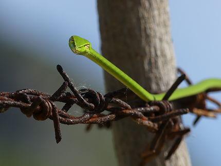 Serpent liane nasique