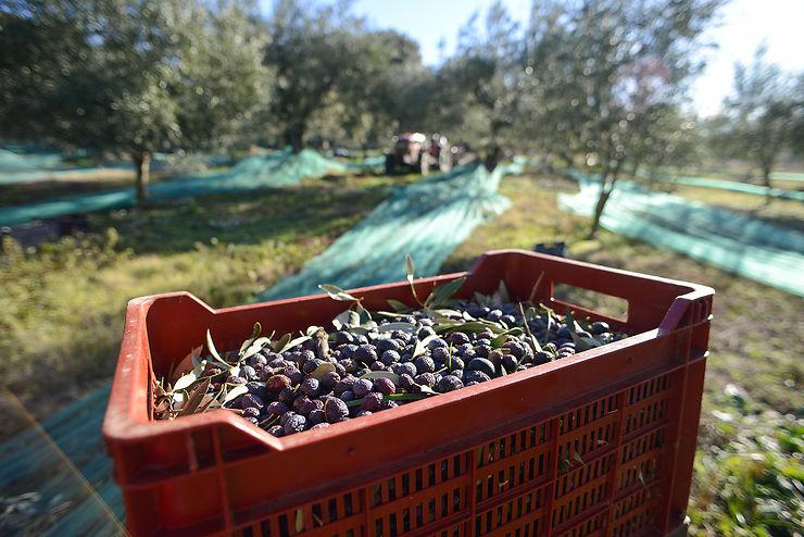 Drôme - Sur les traces de l'huile d'olive à Nyons