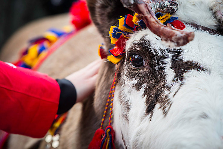Renne d'un troupeau Sami, Suède